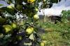 Ябълковите градини на град Нингчи помагат за подобряване благосъстоянието на местните хора