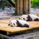 Популацията на пандите успешно се увеличава